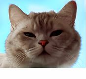 Cat On Spring Cute Funny British Cat white grey Cats Spring Cats. Cat Cute Funny British white grey Cats sit on window,marts cat,spring kitty royalty free stock image