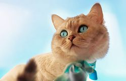 Cat Cute Funny British white grey Cats. Sit on window,marts cat,spring kitty stock photo