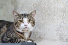 cat cute gray Στοκ εικόνα με δικαίωμα ελεύθερης χρήσης