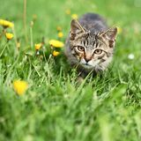 Cat. Cute kitty lurking in grass royalty free stock photos