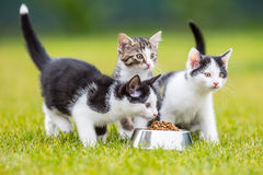 Cat. Cute little kitten with a bowl of granules at home or in the garden Royalty Free Stock Image