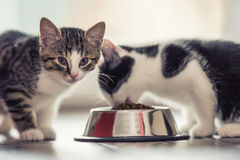 Cat. Cute little kitten with a bowl of granules at home or in the garden Royalty Free Stock Photos
