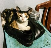 Cat 3. Cute cat sits on owners shoes Royalty Free Stock Photography