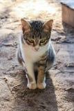 Cat Cute tailandesa Imagen de archivo
