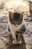 Cat Cute tailandesa Foto de archivo libre de regalías