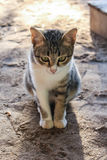 Cat Cute thaïlandaise Image stock