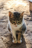 Cat Cute thaïlandaise Photo libre de droits