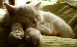 Cat. Cute white cat while sleeping Stock Photos