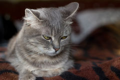 The cat is a cutie. Very beautiful and interesting grey cat,young, and healthy,well posing in the photo royalty free stock photo