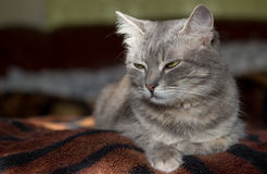 The cat is a cutie. Very beautiful and interesting grey cat,young, and healthy,well posing in the photo royalty free stock photography