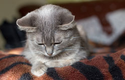 The cat is a cutie. Very beautiful and interesting grey cat, young, and healthy, well posing in the photo royalty free stock photography