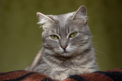 The cat is a cutie. Very beautiful and interesting grey cat,young, and healthy,well posing in the photo stock image