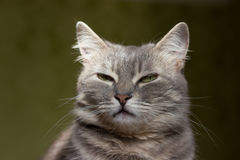 The cat is a cutie. Very beautiful and interesting grey cat,young, and healthy,well posing in the photo stock photography