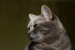 The cat is a cutie. Very beautiful and interesting grey cat,young, and healthy,well posing in the photo stock photos