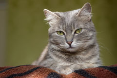 The cat is a cutie. Very beautiful and interesting grey cat,young, and healthy,well posing in the photo royalty free stock image