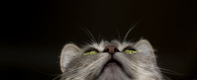 The cat is a cutie. Very beautiful and interesting grey cat,young, and healthy,well posing in the photo stock images
