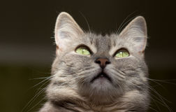 The cat is a cutie. Very beautiful and interesting grey cat,young, and healthy,well posing in the photo royalty free stock photos