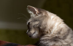 The cat is a cutie. Very beautiful and interesting grey cat,young, and healthy,well posing in the photo royalty free stock images