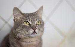 The cat is a cutie. Very beautiful and interesting grey cat,young, and healthy,well posing in the photo stock photo