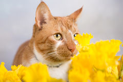 Cat in daffodils Stock Photography
