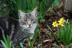Cat with Dafodils. Grey tabby cat in the garden with yellow dafodils Stock Photography