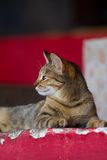 Cat in Dahab, profile Stock Photography