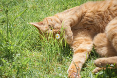 Cat and a daisy Stock Photography