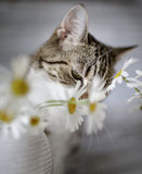 Cat and Daisy Flowers Stock Photos