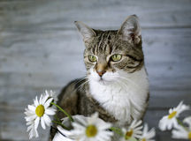 Cat and Daisy Flowers Royalty Free Stock Images