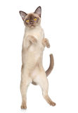 Cat is dancing on white background Stock Image