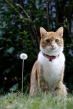 Cat and Dandelion. Cat sitting next to a dandelion clock Royalty Free Stock Photography