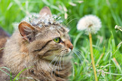 Cat with dandelion Royalty Free Stock Images