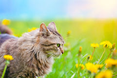 Cat on the dandelion meadow Stock Images