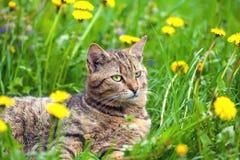 Cat on dandelion meadow Royalty Free Stock Image