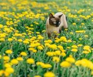 Cat dandelion Stock Images