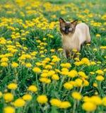 Cat dandelion Stock Photography