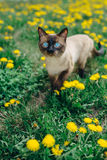 Cat dandelion Royalty Free Stock Image