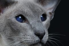 Cat with dark blue eyes Stock Images