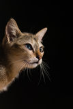 Cat in dark Royalty Free Stock Image