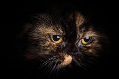 Cat in the dark. Cat lurking in the darkness to attack. Animals and pet background Stock Image