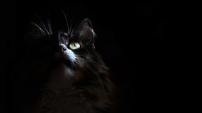 Cat in the dark. Portrait of a Kitty who is looking up on a black background.Suitable for posters,flyers,banner. Royalty Free Stock Photo