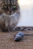 Cat with dead mouse awaiting recognition for hunti Stock Photography