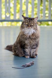 Cat with dead mouse on patio Royalty Free Stock Images