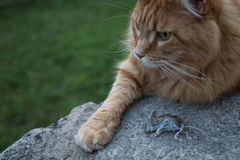 Cat and dead mouse Stock Image