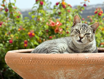 Cat in decorative pot outdoors. Closeup of tabby colored cat resting in earthenware garden pot outdoors Stock Photos