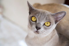 Cat with deep beautiful mustard yellow eyes Stock Photos