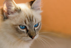 Cat with deep blue eyes Stock Image