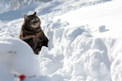 Cat in deep snow Royalty Free Stock Photo