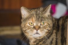 The cat deep in thought. The Scottish straight cat. Blotched tabby tortie. The cat deep in thought stock photography