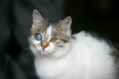 Cat with deformed eye Stock Photos